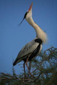 Long Heron